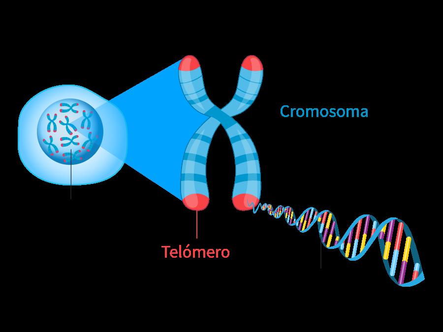 telomero-es-LUXFACIEM-SKIN-RENEW-cap-peptide-5